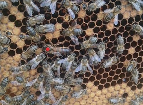 allevamento delle api regine